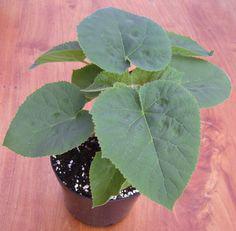 Quality seedlings of paulownia