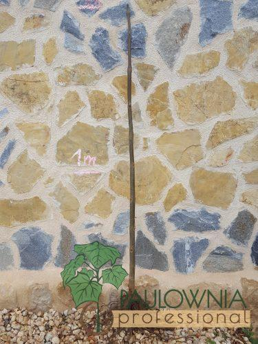 paulownia stump 2m