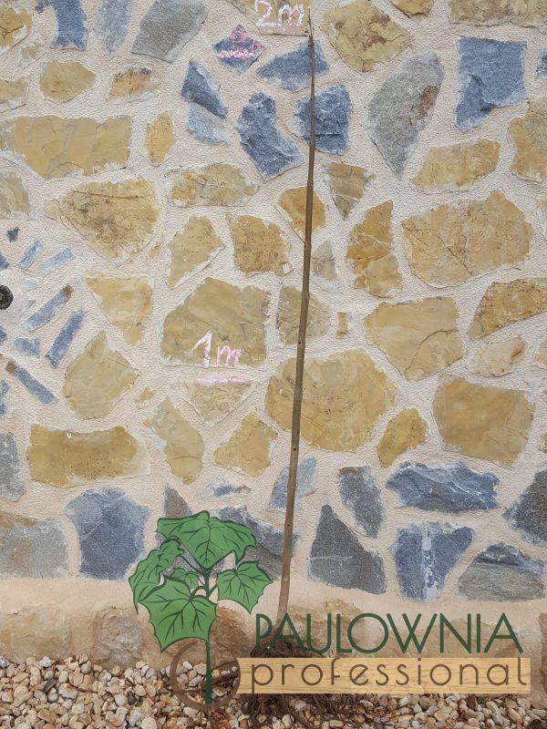 Paulownia ShanTong stump 2m