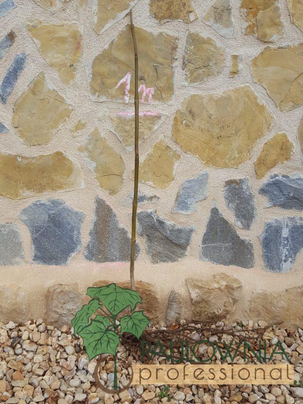 Paulownia Tomentosa stump 1m