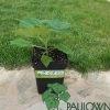 Paulownia Pao Tong Z07 in pot 5L