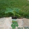 Paulownia Pao Tong Z07 in pot 600ml