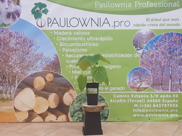Paulowia Elongata in 2 liters pot