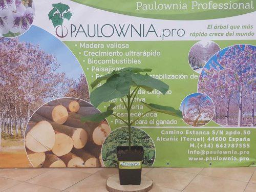 Paulowia Elongata pot