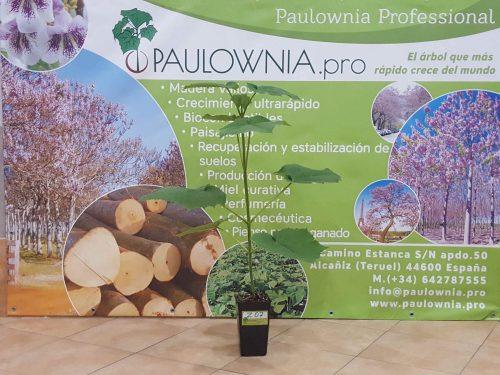 Paulownia Pao Tong Z07 2L