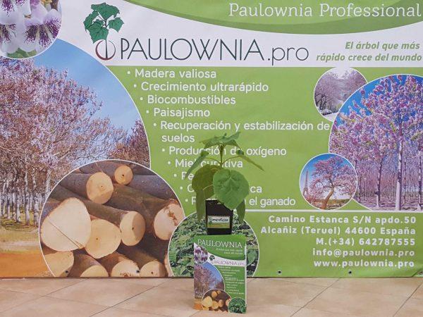 Павловния Tomentosa 2L