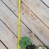 Paulownia Pao Tong Z07 MiniStump root