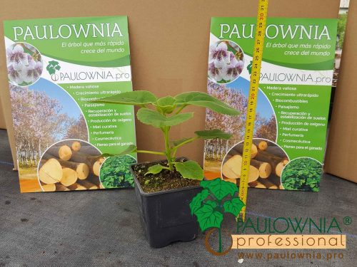 Paulownia Tomentosa in pot 600ml