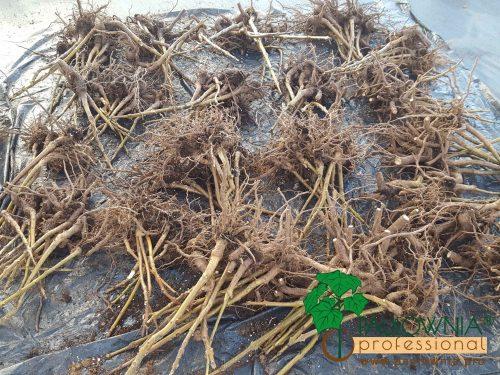 Paulownia stump madera wood madera de paulownia forestal forest format shantong z07 ze pro turbo pro elongata fortunei