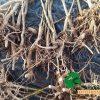 Paulownia stump root rootstump sedling madera wood madera de paulownia forestal forest format shantong z07 ze pro turbo pro elongata fortunei