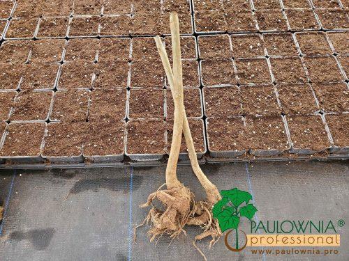 Paulownia Stump XL nursery vivero planta a raíz abierta comprar paulownia kiri tomentosa