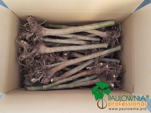 Paulownia Stump XL packing box caja