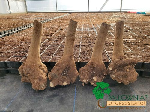 Paulownia root stump Turbo Pro Ze Pro XXL