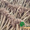 Paulownia root stumps shantong z07 ze pro turbo pro elongata fortunei tomentosa kiri xxl